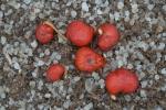Drosera erythrorhiza ssp. colina