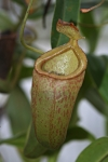 Nepenthes talangensis x ventricosa