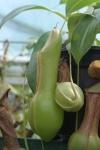 Nepenthes alata var. boschiana