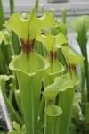 Sarracenia flava var. rugelli