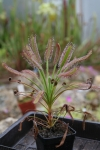Drosera capensis hairy form