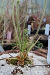 Drosera graminifolia