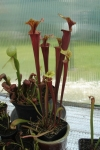 Sarracenia flava var. atropurpurea