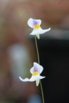 Utricularia blanchetii