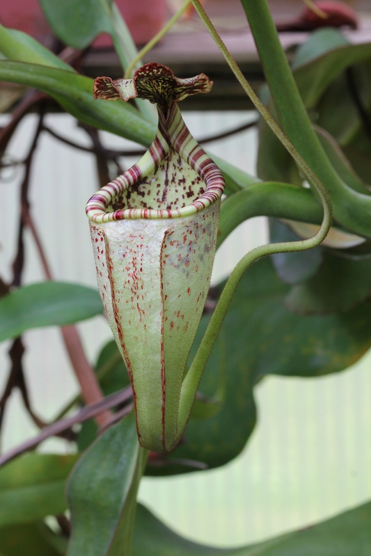 Nepenthes burbidgeae